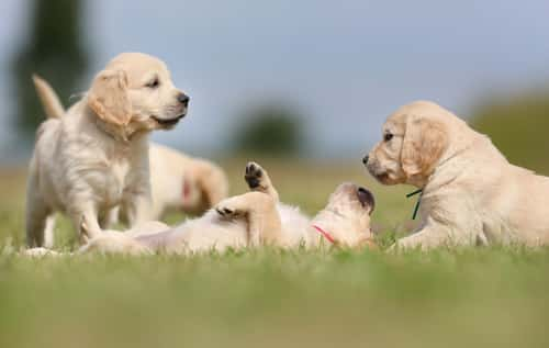Welpenauslauf und Welpengehege für Hunde